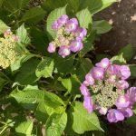 紫陽花が咲き始めましたね