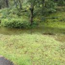 ゴルフ場の池の水が溢れ、鯉がフェアウェイを泳いでる